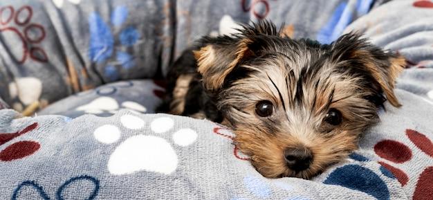 Vorderansicht des niedlichen yorkshire terrier welpen in seinem bett