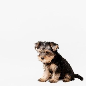 Vorderansicht des niedlichen yorkshire terrier welpen mit kopienraum