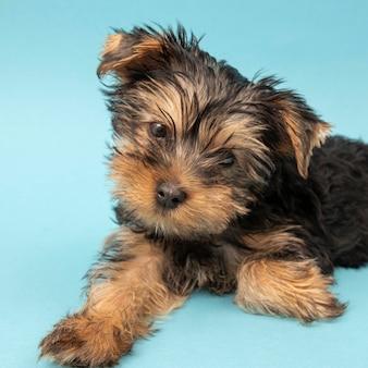 Vorderansicht des niedlichen yorkshire terrierhundes