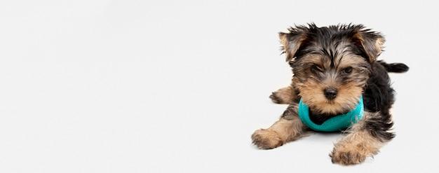 Vorderansicht des niedlichen yorkshire terrierwelpen mit kopienraum