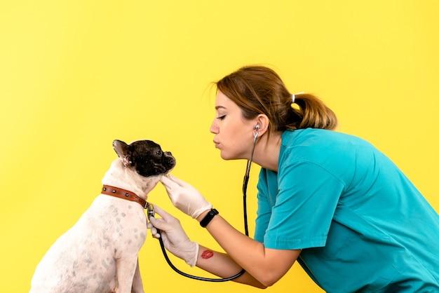 Vorderansicht des weiblichen tierarztes, der kleinen hund auf gelber wand beobachtet
