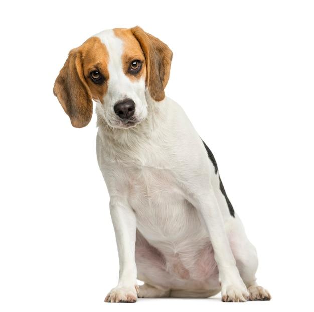 Vorderansicht eines beagle-welpen lokalisiert auf weiß