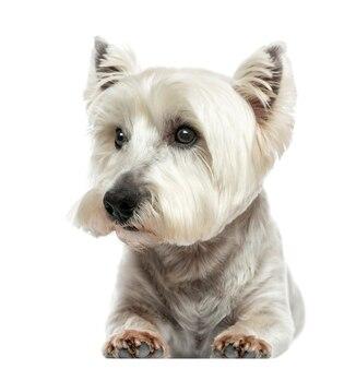 Vorderansicht eines west highland white terrier, der isoliert auf weiß liegt