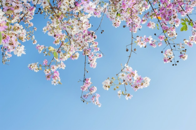 Vordergrund der schönheit blüht auf rosa trompetenbaum