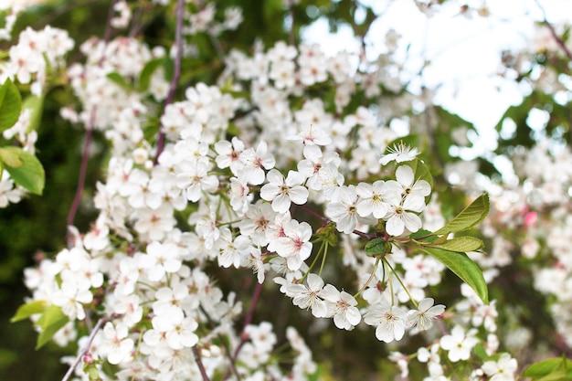 Vorfrühling der blühende apfelbaum mit strahlend weißen blüten