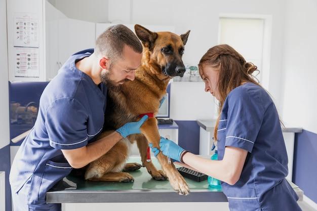 Vorsichtige doktoren des mittleren schusses, die krankem hund helfen