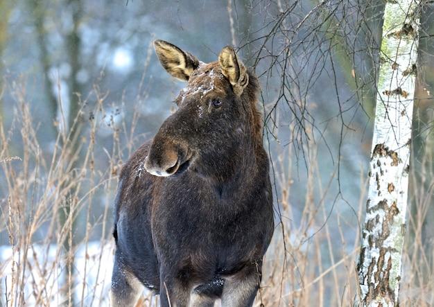 Vorsichtiger portrait elk winterwald