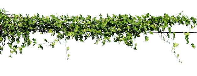 Vy-pflanze auf elektrischem draht isoliert auf weißem hintergrund