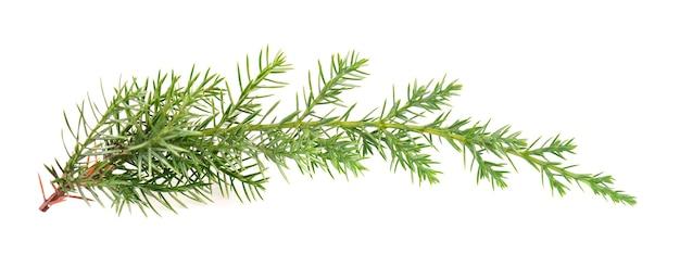 Wacholdergrüner zweig, isolierte zierpflanzen für die landschaftsgestaltung.