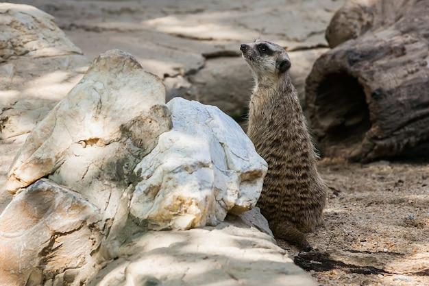 Wachsames suricate oder erdmännchen (suricata suricatta), stehend zum ausguck