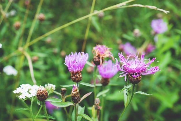 Wachsen lila blüten von serratula lycopifolia pflanze