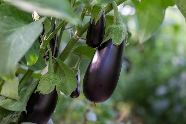 Wachsende auberginen in einem gewächshaus
