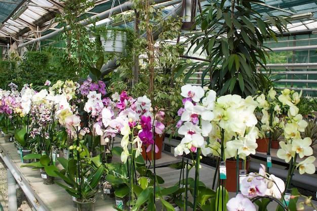 Wachsende bunte tropische blühende orchideenpflanzen in einem gewächshaus für handel und export