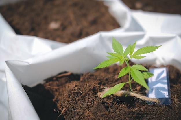 Wachsende cannabis-marihuana-kräuterpflanze in der freilandfarm