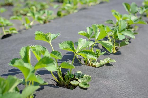 Wachsende erdbeere auf agro-faser in reihen