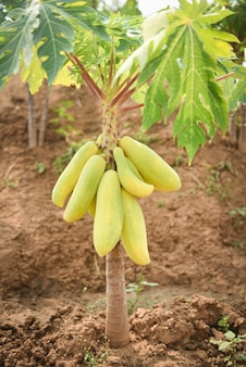 Wachsende grüne papaya-früchte hängen am papaya-baum mit sonnenlicht in der landwirtschaft der gartenfarm