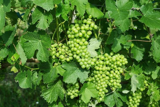 Wachsende grüne trauben in italien in der langhe-region. bündel der grünen weintraubennahaufnahme. gute weinernte für die weinherstellung.