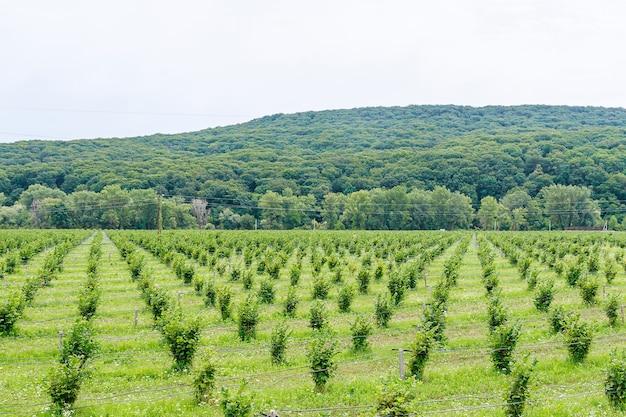 Wachsende hasel. feld mit haselnussbüschen. tropfbewässerung zum anpflanzen von haselnüssen.