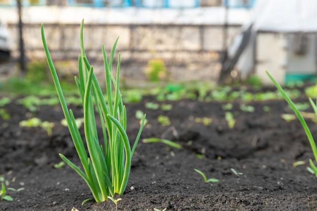 Wachsende junge grüne maissämlingssprossen im kultivierten landwirtschaftlichen feld