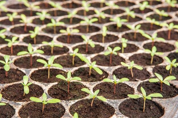 Wachsende jungpflanzen in der baumschule mit plastikbehälter