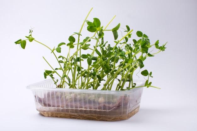 Wachsende microgreens auf einer plastikschüssel isoliert auf weißem hintergrund