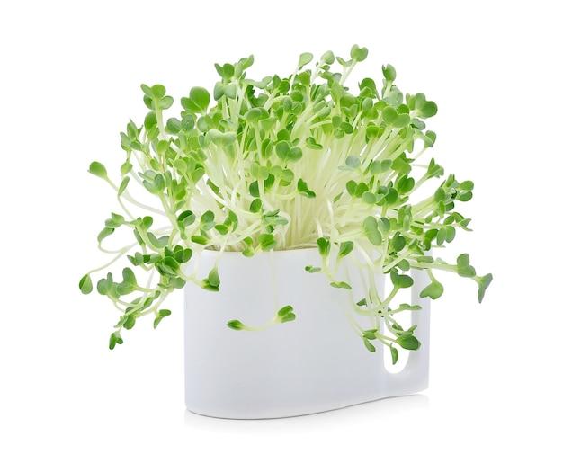 Wachsende microgreens auf weiß