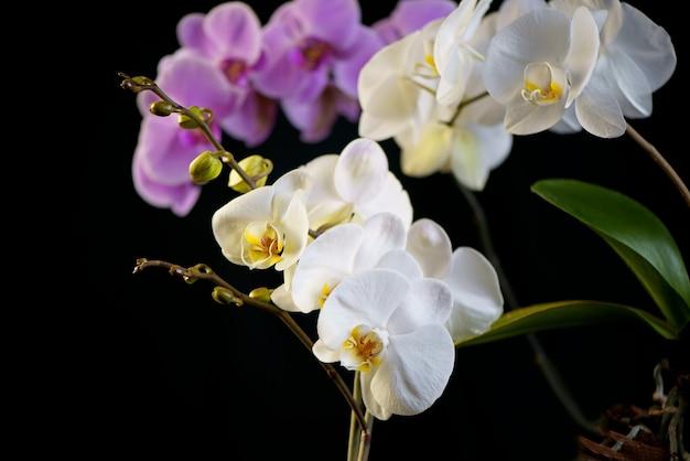 Wachsende orchideen. schöne lila und weiße phalaenopsis. orchideenblüten, auf schwarzem hintergrund. pflege von zimmerpflanzen. blumen gießen und sprühen