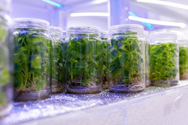 Wachsende paulownia-pflanzen unter sterilen bedingungen. mikropagation von blumen und bäumen im labor unter künstlicher beleuchtung.