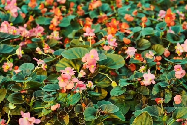 Wachsende rosa und rote begonie blüht nahaufnahme mit unscharfem hintergrund