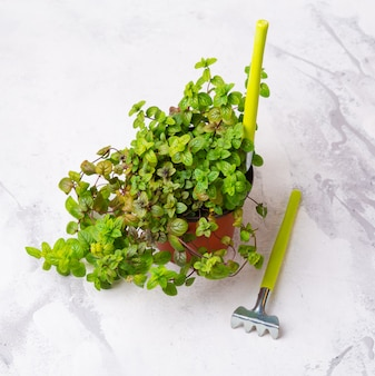 Wachsende sämlinge, topfpflanzen. minzsprossen in töpfen gepflanzt. ein verwurzelter schnitt, der zum pflanzen bereit ist. die zucht von zimmerpflanzen.