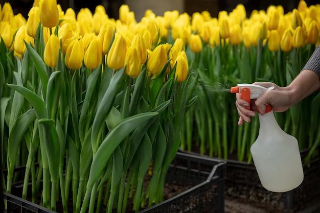 Wachsende tulpen in einem gewächshaus