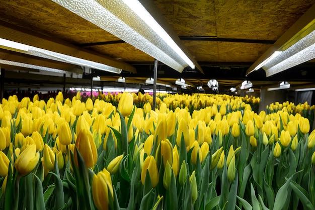 Wachsende tulpen in einer im gewächshaus gefertigten manufaktur für ihre feier