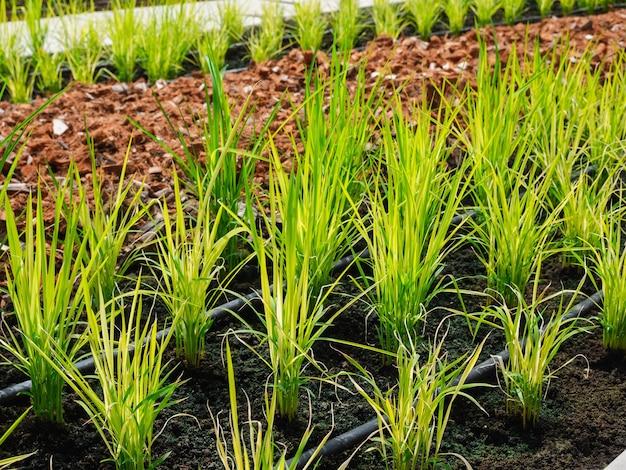 Wachsender junger bio-reis im gemüsegarten, hausplantage