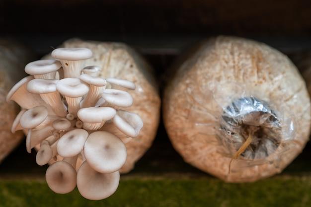Wachsender pleurotus pulmonarius aus plastiktüte selbst angebautes gemüse