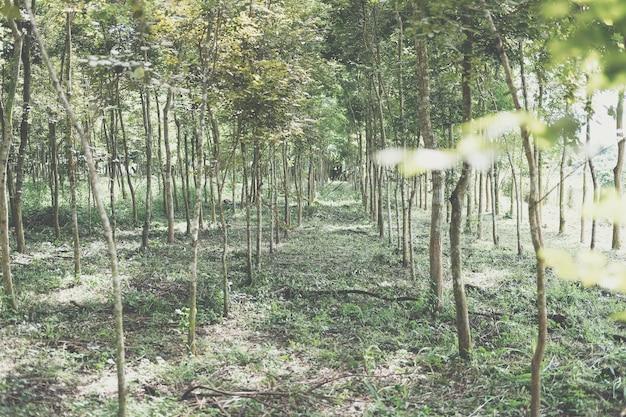 Wachsender siamesischer palisander-tracwood-baum im ackerland