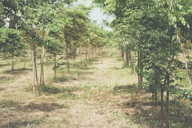 Wachsender siamesischer rosenholzbaum im ackerland