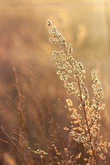 Wachsender wilder gras-wermut auf dem feld während des abendlichen warmen sommersonnenuntergangs