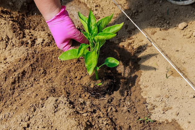 Wachsendes gemüse. pflanzen von paprikasämlingen in den boden. ökologie. biologischer anbau. landwirtschaft.