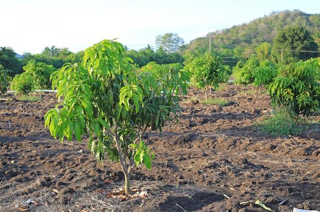 Wachsendes mangofeld im tal von thailand