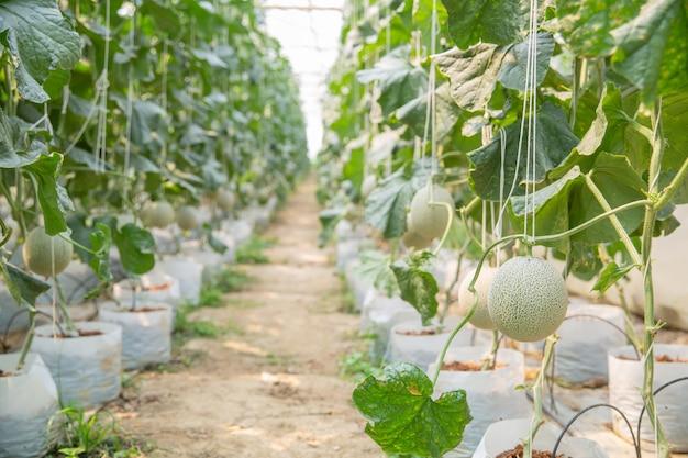 Wachstum der jungen melone im gewächshaus.