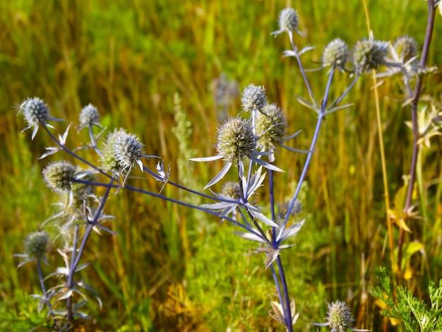 Wachstum von blaudistel oder bluehead flatleavedas eryngium planum als hintergrund