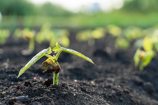 Wachstumsschrittkonzept des landwirtschaftlichen pflanzensämlings im garten und im sonnenlicht.