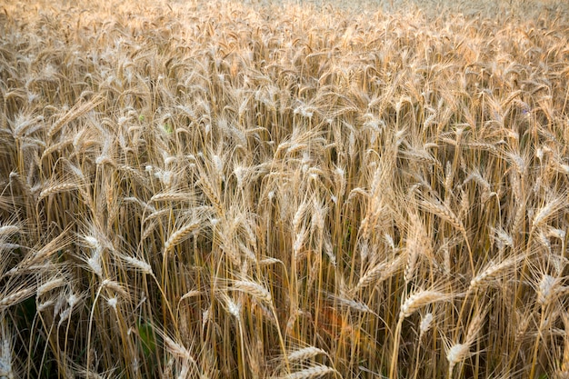 Wärmen sie farbiges goldenes ernteweizenfeld.