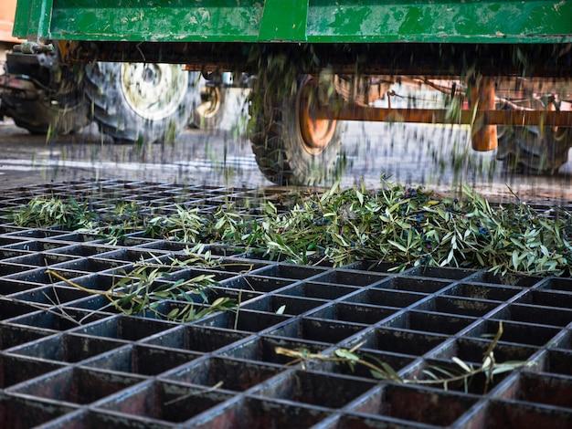 Wagen zum entladen von oliven in einen tank für den olivenölproduktionsprozess. konzentriere dich auf die blätter.