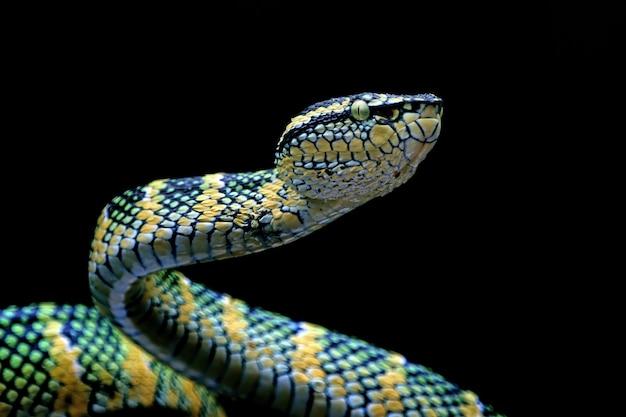 Wagleri viper schlange nahaufnahme kopf auf schwarzem hintergrund