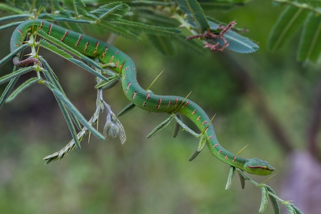 Waglers grubenotterschlange