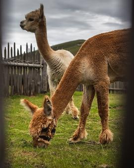 Wahlschuss von braunen und weißen lamas, die gras essen