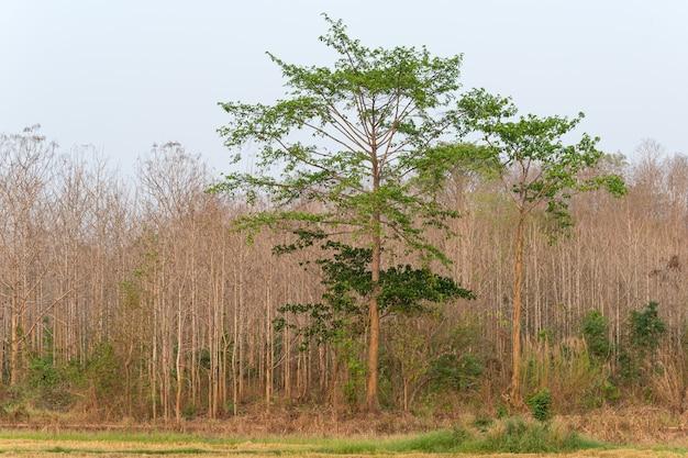 Wald in der natur der rand thailands bei khao yai
