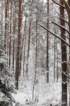 Wald, in der wintersaison nach einem großen schneefall, vollständig mit schnee bedeckt die alten hohen kiefern, deren spitzen nicht sichtbar sind