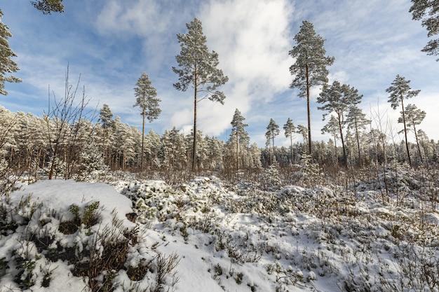 Wald mit hohen bäumen im winter